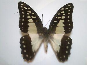 Insect/Butterfly/Moth Non set B6934 Blue/Black/Red Graphium eurypylus gordion