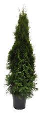 Thuja occ. Smaragd Edelthuja Lebensbaum 120-140cm Pflanzenhöhe