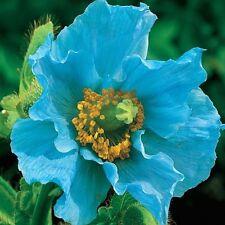 100pcs Blue Himalayan Poppy Seeds Hardy Flower  Ornament Poppy Flower Seeds DIY