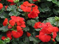15 Geranium Seeds Pinto Deep Red