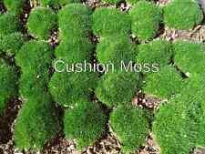 STAR MOSS LIVE MOSS Terrarium Gecko Fairy Garden Dart Frog Live Plant VIVARIUM