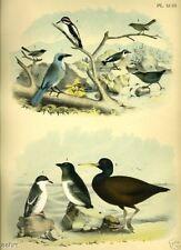 BIRD~AUK, CHAT, BLUE JAY~1881 antique art print~93