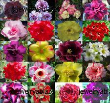 """NEW! Adenium Obesum Desret Rose """"Mixed 20 Types 500 Seeds RARE!"""