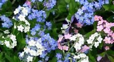 60+ WHITE, BLUE AND ROSE FORGET-ME-NOT MIXED  FLOWER SEEDS / PERENNIAL