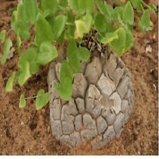 5x Dioscorea elephantipes Schildkrötenpflanze Samen Garten Pflanze Neu B1289