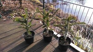 1 x Araucaria Araucana - Schmucktanne - Chilenische Andentanne Affenbaum ca.50cm
