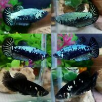 Blue Black Green Halfmoon Plakat Female-IMPORT LIVE BETTA FISH FROM THAILAND