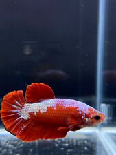 Live Betta Fish Male Halfmoon Plakat Santa Claus Red White USA SELLER M1639