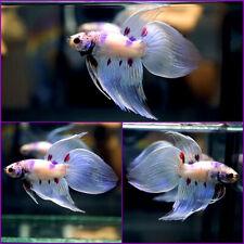 New listing Live Betta Fish Purple Polka Dots Veiltail Vt Male A885