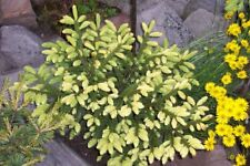 Picea orientalis Golden Start grafted 1L pot bonsai subject
