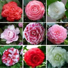 5 Camellia Flower Seeds Calpandria Tea Tree Fresh Garden Beautiful Nature Plants