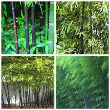 20pz  semi bamboo nero arundinacea bambusa seeds bambù semillas parco giardino
