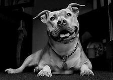 Enmarcado impresión-Cachorro Pitbull Negro y Blanco (imagen cartel Perro Gato Animal Arte)