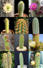 WEBERBAUEROCEREUS MIX, rare cactus garden OJO night cacti exotic desert 20 seeds