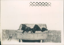 Photograph 1930's  Cute Litter of Puppies in Basket  picture 4