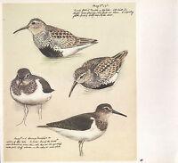 Bella Vintage Uccello Stampa ~Dunlin~