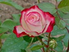 25 semi di ROSA DOUBLE DELIGHT + OMAGGIO
