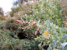 Old Man Saltbush De Koch 250 gm Stock Fodder Drought & Frost Tolerant Bulk Seed