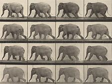 VINTAGE PHOTOGRAPHY MUYBRIDGE AMERICAN ANIMAL LOCOMOTION ARTWORK PRINT BB5002A