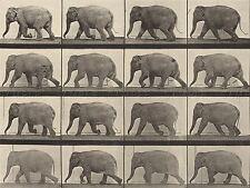 VINTAGE PHOTOGRAPHY MUYBRIDGE AMERICAN ANIMAL LOCOMOTION ARTWORK PRINT BB5002A