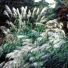 Chinese Silver Grass- Early Hybrids (Miscanthus)- 25 seeds - Bogo 50% off Sale