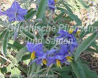 🔥 Nachtschatten Solanum elaeagnifolium 15 frische Samen Balkon Kübel