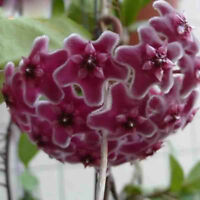 100PCs Rare Seeds Orchid Ball Purple Flowers Perennial HOYA Carnosa Home Garden