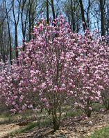 Jane Magnolia Tree - Hardy Healthy Established Rooted - 1 Plant in 1 Gallon Pot