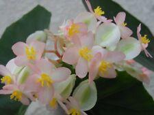 Begonia Honeysuckle