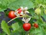 Solanum sisymbriifolium - Litchi-Tomate 10 Samen