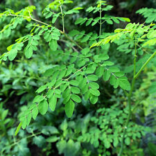 10 x fresh seed MORINGA OLEIFERA Drumstick Miracle Tree Easy to grow