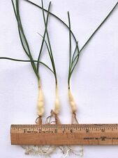 Ammocharis coranica Group Of 3, 3yr Seedling Bulbs
