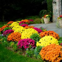 100 PCS Seeds Rare Chrysanthemum Plants Flowers Bonsai Easy To Grow Garden 2021