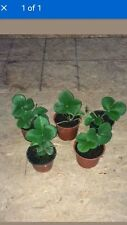 Strawberry plants Ready to grow your own 5 Elsanta plants