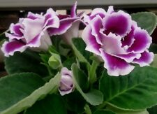 GLOXINIA EMPRESS MIX Houseplant Easy House Plant 10 Seeds