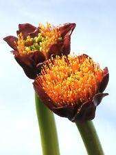 5x Scadoxus puniceus ( Paintbrush lily, Snake bulb plant Amaryllidaceae rare