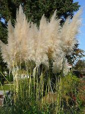 100 Samen weißes Pampasgras Cortaderia selloana