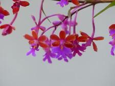 OPSOS Near Blooming Size Oerstedella schweinfurthiana Orchid Plant