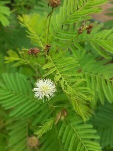 Prairie mimosa - Desmanthus illinoiensis - 20+ seeds - Semillas - Graines