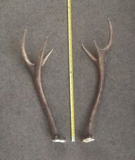"""Pair of Nice Young Red Deer Antlers. Irregular Shape Burrs,""""Feets"""" # 5293"""