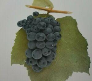 Vintage 1908 MARION GRAPE Color Plate Print U P Hedrick Winery Botanical Kitchen