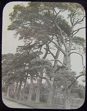 Glass Magic Lantern Slide NONSUCH PARK SURREY C1890 PHOTO NATURE STUDY TREES