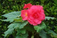 Begonia rose farm pink   (5 tuber) Now shipping