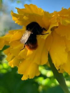 Photo Picture Nature Flower Bumblebee