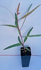 Eucalyptus morrissii (Gum Tree) in 50mm forestry tube native plant tree