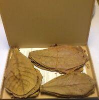 ~50 Stück (=100 Gramm) 20-25cm - Seemandelbaumblätter Catappa Leaves TopQualität