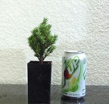 Dwarf Alberta spruce for shohin mame bonsai tree fairy garden multiple listing
