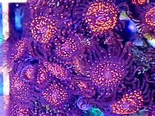 New listing Live coral wysiwyg: Cornbred Maul Godz 2 Polyp Ultra Palys Zoanthids Red Zoas