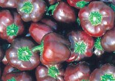 Ungarische Miniatur schoko Purple Paprika, süss, 10 Samen