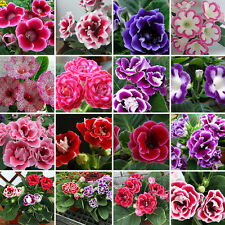 200Pcs Mixed Flower Rare Real Gloxinia Seeds Beautiful Bonsai Sinningia Garden
